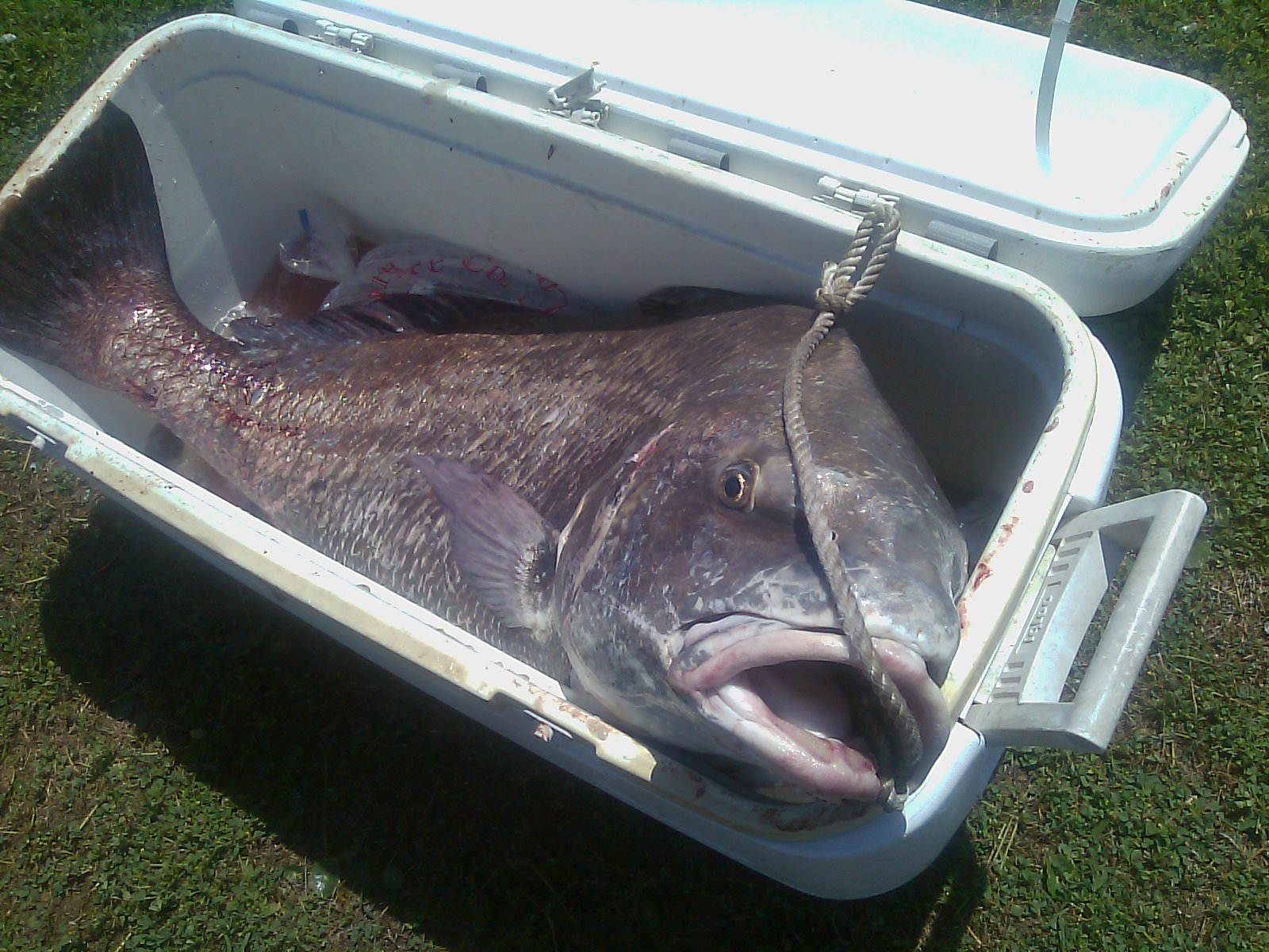Drumwagon picture page fish for Cape lookout fishing report